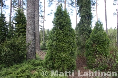 Kartiotuija Thuja occidentalis Holmstrup 100-120 cm