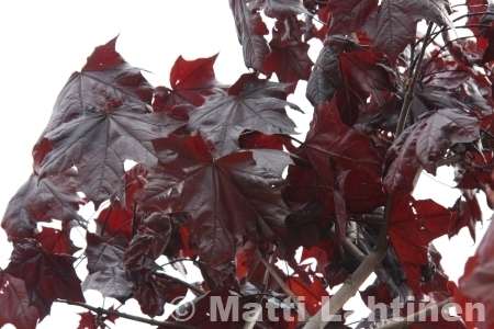 Hurmevaahtera Acer platanoides Royal red 200-250 cm