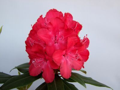 Alppiruusu Rhododendron  Royal Red