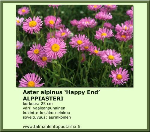 Aster alpinus 'Happy End' ALPPIASTERI 12 cm ruukku