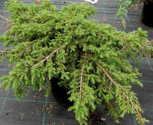 Kääpiökataja Juniperus communis Green Carpet 30-40 cm