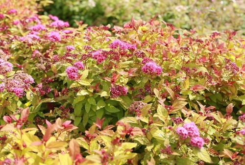 Keltajapaninangervo Spiraea japonica Magic Carpet 3 l