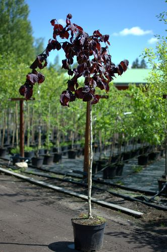 Pähkinäpensas rungollinen Corylus avellana Purple Umbrella 120-